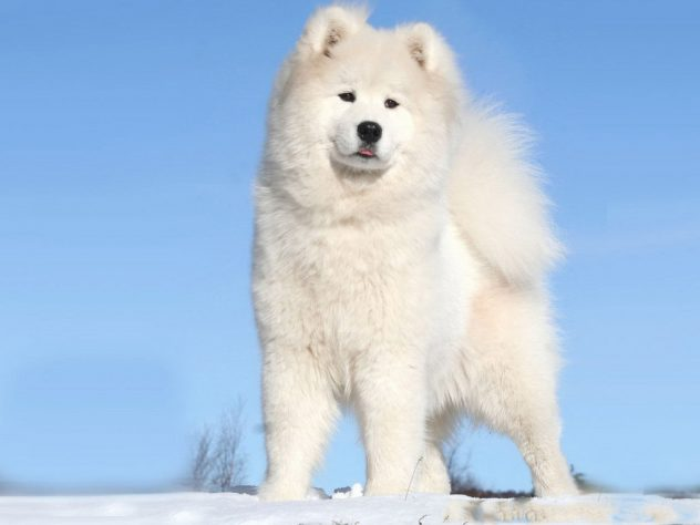 perro-alasca-sobre-el-hielo